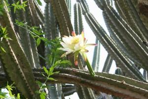 Cactus flower VHG